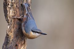 Nuthatch Sitta europaea. A nutchatch Sitta europaea in a birch forest in the Izki Natural Park Bernedo, Basque Country Royalty Free Stock Photo