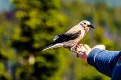 A Nutcracker bird eating from a person`s hand stock photos