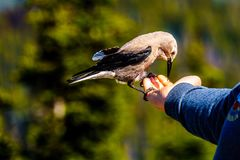 A Nutcracker bird eating from a person`s hand stock images
