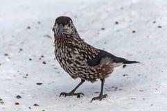 Nutcracker bird snow cedar Stock Photos