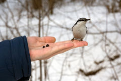 Nutcracker on hand. Wild bird Nutcracker on humans hand - shot from Siberia Russia Royalty Free Stock Image