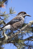 Nutcracker - Nocciolaia (Nucifraga caryocatactes). Spotted Nutcracker, Eurasian Nutcracker, or just Nutcracker, on a branch of Swiss Pine or Arolla Pine (Pinus Royalty Free Stock Photos