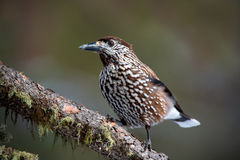 Nutcracker (Nucifraga caryocatactes). Nutcracker looking and resting on branch stock photos