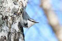 nuthatch  in Siberia Royalty Free Stock Photography