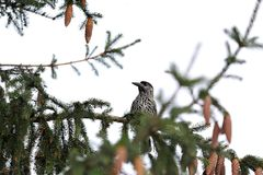 Nutcracker on tree Royalty Free Stock Photography