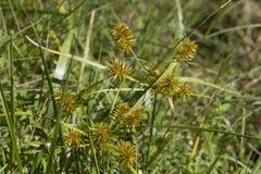 Nutgrass giallo di Nutsedge - cyperus esculentus Immagini Stock