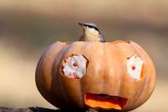 Nuthach i pumpa halloween Arkivfoton