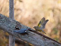 Nuthach vs Greenfinch Royalty Free Stock Photography