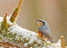 Nuthatch в зиме Стоковые Фото
