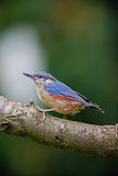 The Nuthatch Stock Image