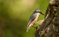A Nuthatch Royalty Free Stock Photo