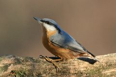 Nuthatch. At bird feeder in Hungarian mountains Royalty Free Stock Photo