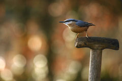 Nuthatch. A nuthatch perched on the handle of a garden fork Royalty Free Stock Photos