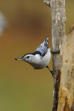 Nuthatch 1a Royalty Free Stock Photo