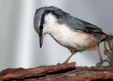 Nuthatch. Searching food in tree bark Stock Photo