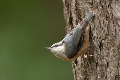 Nuthatch Stock Fotografie
