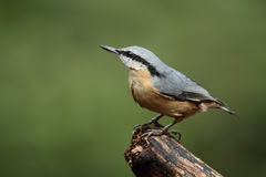 Nuthatch. On a piece of wood Stock Photos