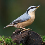 Nuthatch Stock Images