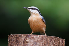 Nuthatch Royalty-vrije Stock Foto's