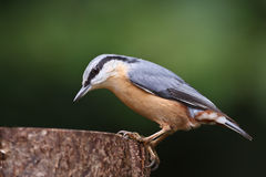 Nuthatch Royalty-vrije Stock Fotografie