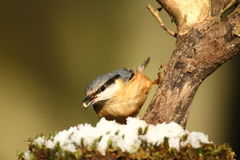 Nuthatch Royalty-vrije Stock Afbeelding