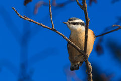 Nuthatch. A nuthatch is perch on a branch.  Curious, he look at me taking that picture Stock Images