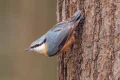 Nuthatch Royaltyfria Foton