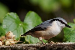 Nuthatch. Or er, sitta europeae Stock Photography