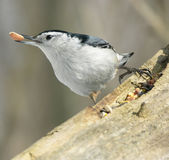 Nuthatch 4. White-breasted nuthatch with seed in beak stock images