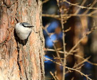 nuthatch Fotos de Stock Royalty Free
