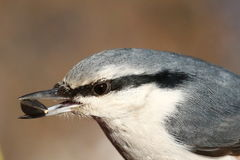nuthatch Immagine Stock