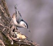 Nuthatch. Perched on a tree trunk with bird seed in his beak royalty free stock photo