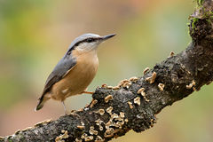 nuthatch Fotografie Stock