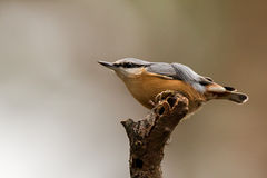 nuthatch Fotografia Stock