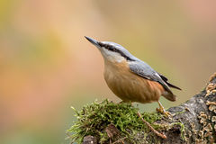 nuthatch Foto de Stock Royalty Free
