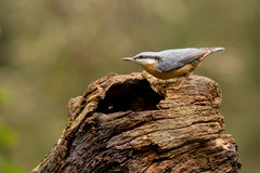 nuthatch Fotografia de Stock Royalty Free