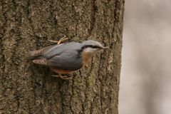 Nuthatch Stock Afbeelding