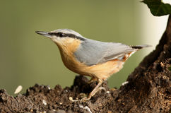 Nuthatch Stock Foto