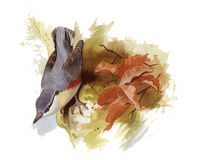 Nuthatch. An original watercolour painting (by myself as the artist) of a Nuthatch bird Stock Photography