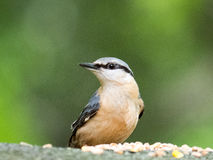 nuthatch Stockfotos
