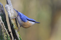 Nuthatch. Alert nuthatch perched on a tree stump Royalty Free Stock Photos