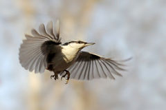 Nuthatch as skydiver Royalty Free Stock Images
