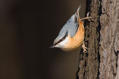 Nuthatch. A nuthatch in the autumn Stock Photos