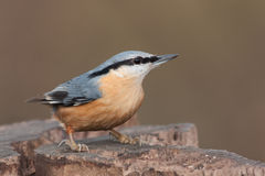 Nuthatch Royalty Free Stock Images
