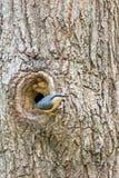Nuthatch bij nest in boom Stock Foto's