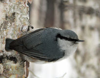Nuthatch on the birch (Sitta europaea) Royalty Free Stock Images