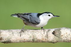 Nuthatch On A Birch Tree. White-breasted Nuthatch (sitta carolinensis) on a Birch tree branch with a green background Stock Photo