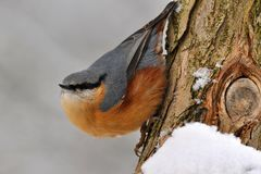 Nuthatch bird. Royalty Free Stock Photos