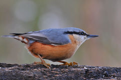 Nuthatch bird Royalty Free Stock Images
