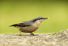 Nuthatch bird Stock Photo